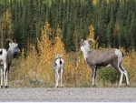 mountain-sheep-alaska-hwy-19