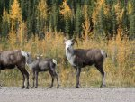 mountain-sheep-alaska-hwy-20