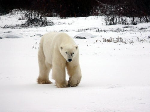 churchill-manitoba-polar-bear