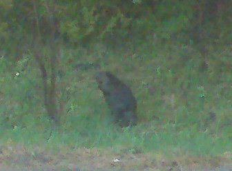 Not a great quality picture, old cell phone. But I slowed down to let the beaver cross the road, and he posed for me afterwards :)<br />Havelock, Ontario