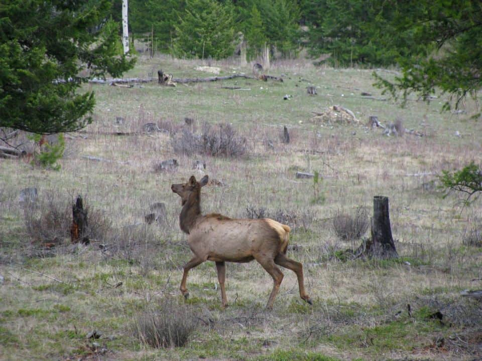 Elk cow trotting alongside a back road in the area