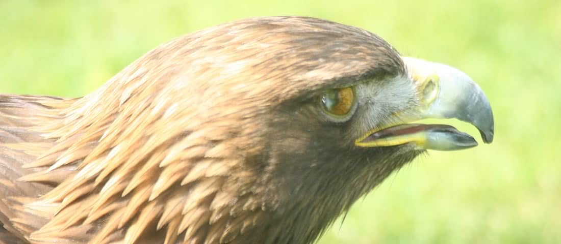 Golden Eagle - Canada