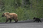 A Grizzly Bear and her cubs crossing the Dempster Hwy