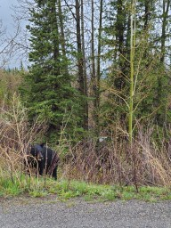 Black Bear  - Just a black bear munching on some bush on the side of the road. Please drive carefully.